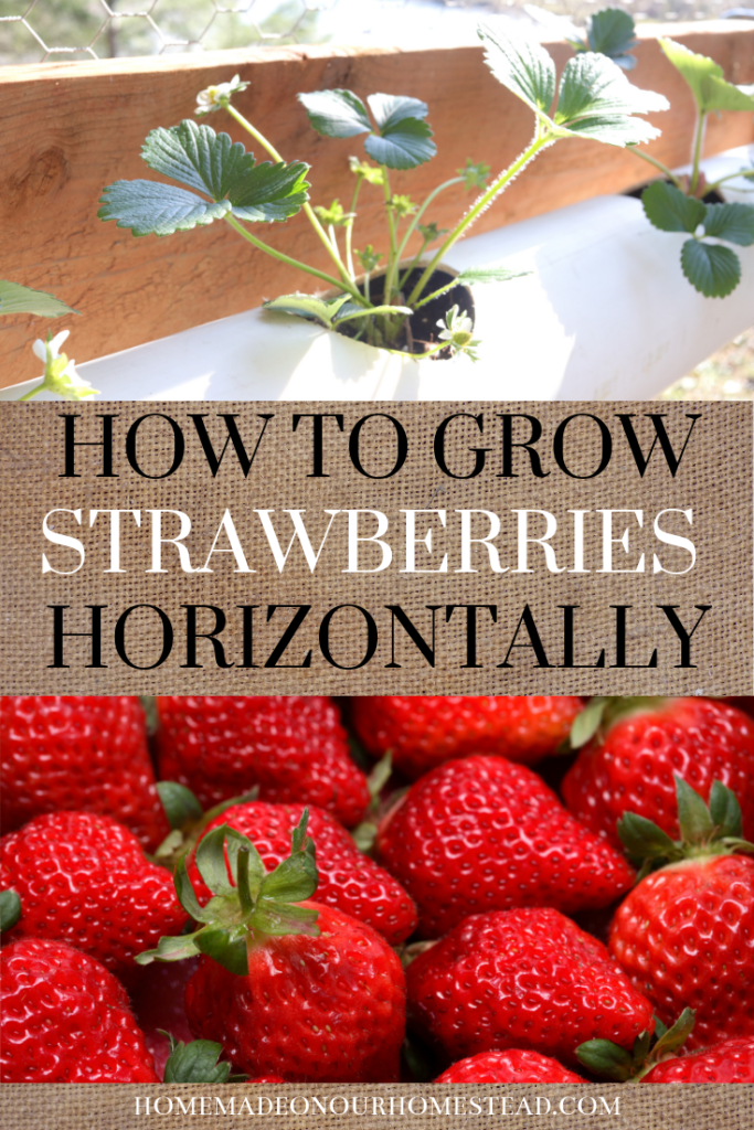HOW TO GROW STRAWBERRIES HORIZONTALLY | how to grow strawberries easily | the secret to growing strawberries easily | the secret to growing strawberries easily in a small space
