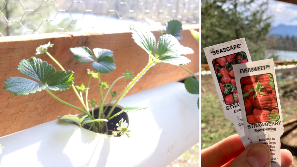 how to grow strawberries | how to grow strawberries in a PVC pipe | how to grow strawberries in a DIY hanging container | homemade on our homestead #howtogrowstrawberries #howtogrowstrawberriesinpvcpipe #howtogrowstrawberriesinDIYcontainers #howtogrowherbsinpvcpipe #howtogrowherbsincontainers #growyourownfood #gardeningforbeginners