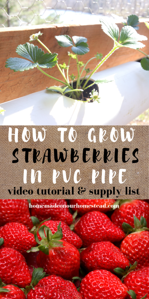how to grow strawberries | how to grow strawberries in a PVC pipe | how to grow strawberries in a DIY hanging container | homemade on our homestead #howtogrowstrawberries #howtogrowstrawberriesinpvcpipe #howtogrowstrawberriesinDIYcontainers #howtogrowherbsinpvcpipe #howtogrowherbsincontainers #growyourownfood #gardeningforbeginners #homemadeonourhomestead